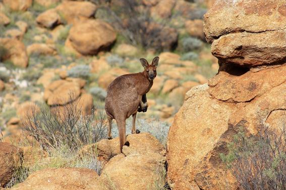 Australien Urlaub rotes Outback Känguru Ozeanien Tours