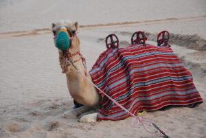 Dubai Wüstensafari Kamel Ozeanien Tours