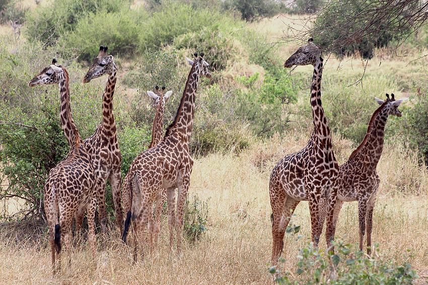 Tansania Giraffenherde Ostafrika Ozeanien Tours