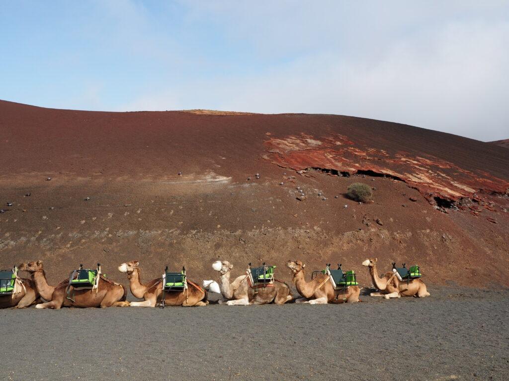 Lanzarote Timanfaya Nationalpark Kamele Ozeanien Tours