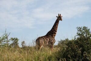 Krueger Nationalpark Giraffe