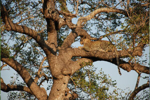 Afrika Big Five Leopard im Baum Ozeanien Tours