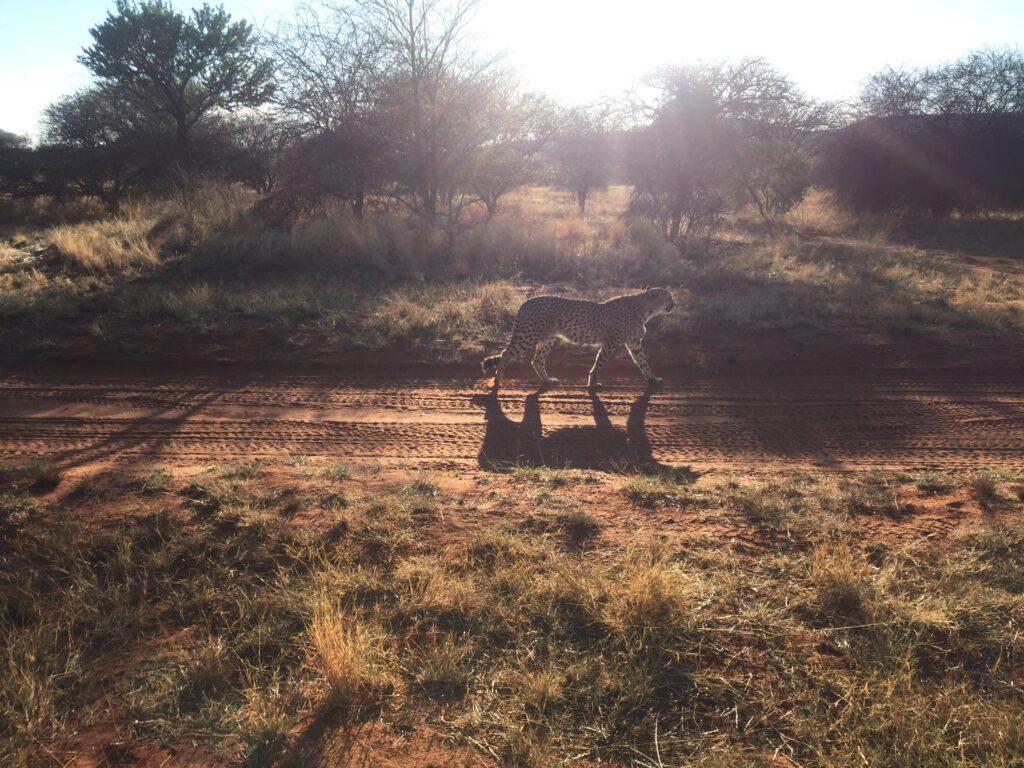 Namibia Leopard Sundowner Ozeanien Tours