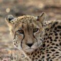 Namibia groß Jaguar ©Riedesser