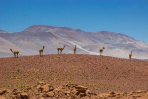 Chile Atacamawüste Alpakas San Pedro Ozeanien Tours