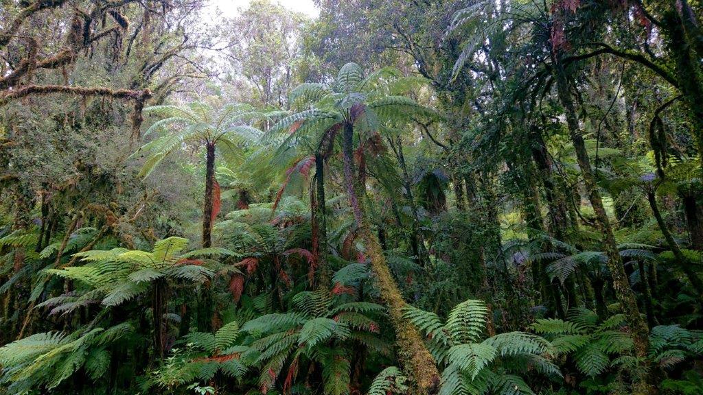 Neuseeland Nordinsel Kauri Wald Farne Ozeanien Tours