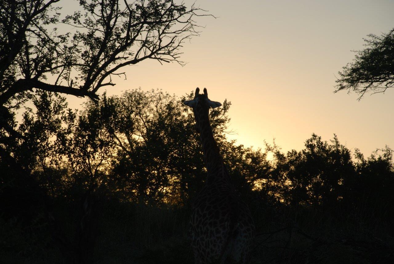 Südafrika Kwa Zulu Natal Ndumo Game Reserve Giraffe Sonnenaufgang Ozeanien Tours